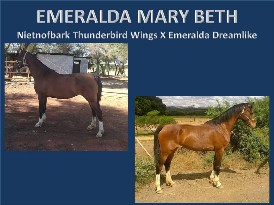 history-of-emeralda-saddlebreds-19